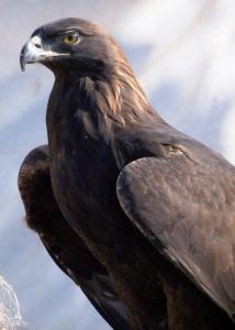 Golden Eagle FB