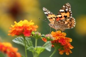 Admiral butterfly on orange flower