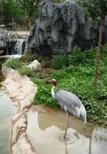 Sarus Crane at the Denver Zoo