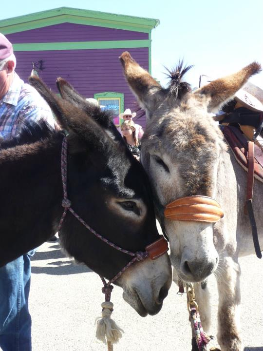 burros loving at Burro Days in Fairplay Colorado