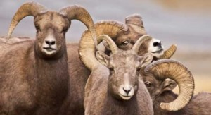 Bighorn Sheep Georgetown Colorado