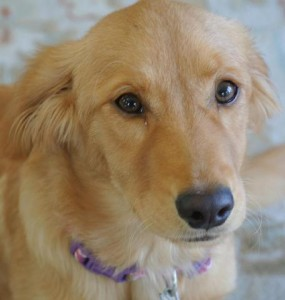 golden retriever from CARE