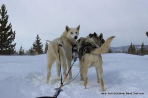 WP dog sledding HeidiTown
