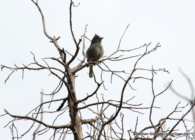 juniper titmouse at CO National Monument March 2013 HeidiTown
