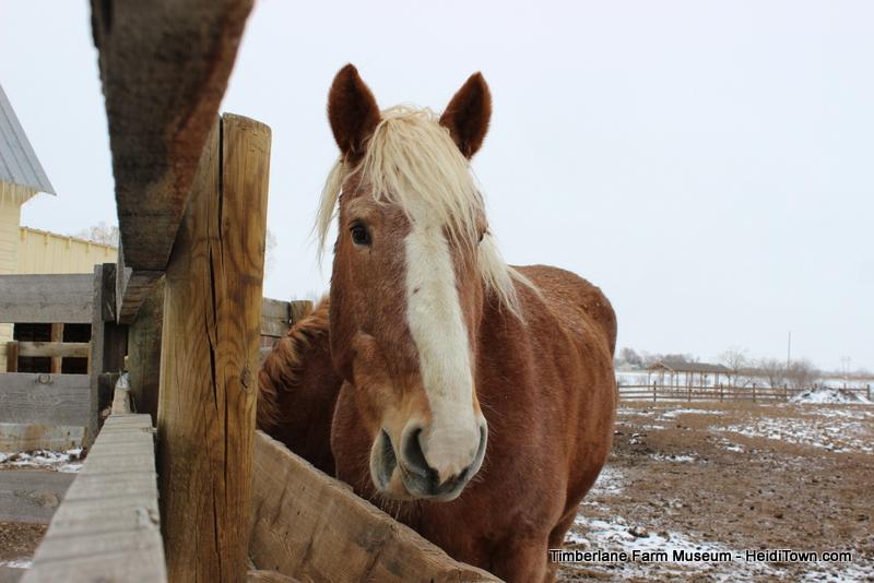 Belgian Horse at Timberlane Farm Museum HeidiTown