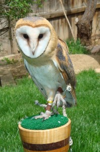 Eros the Barn Owl at Wild Wings Environmental Education HeidiTown.com