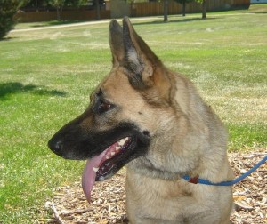 Gretchin available at Front Range German Shepherd Rescue