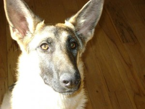 gabby available at Front Range German Shepherd Rescue
