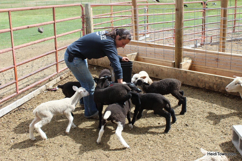 A farm apprentice feeds baby sheep at The Living Farm in Paonia, Colorado. HeidiTown.com