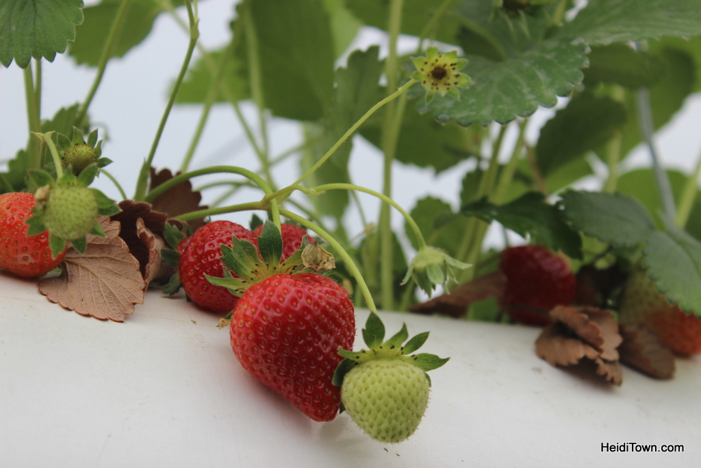 Strawberries at The Living Farm. HeidiTown.com