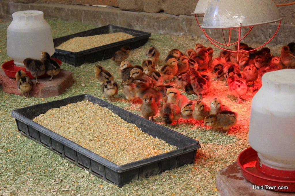 baby chickens at The Living Farm in Paonia, Colorado. HeidiTown.com
