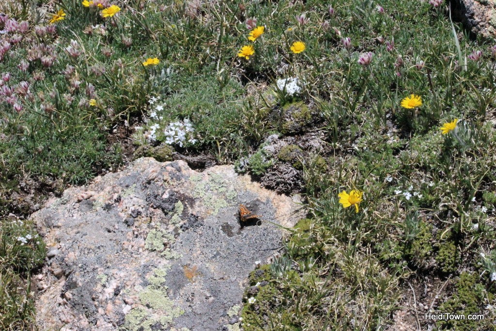 Butterfly and wildflowers along the Ute Trail in Rocky Mountain National Park. HeidiTown.com