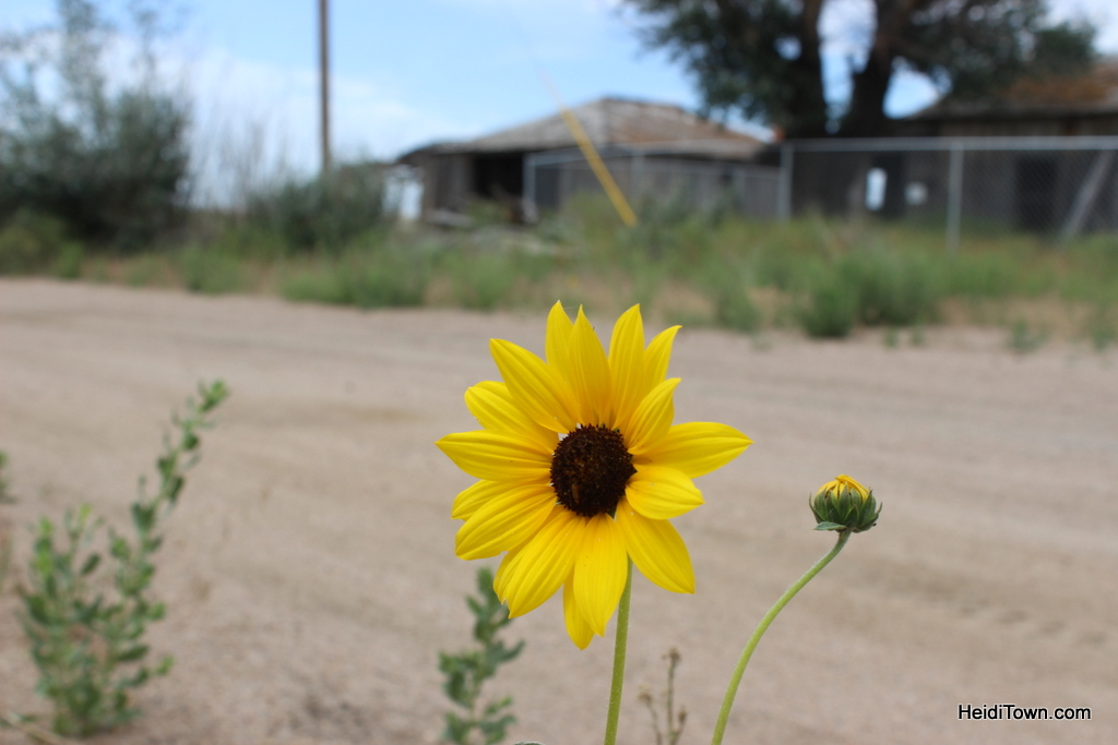 Sunflower in the ghost town of deerfield, in Northeastern Colorado. HeidiTown.com