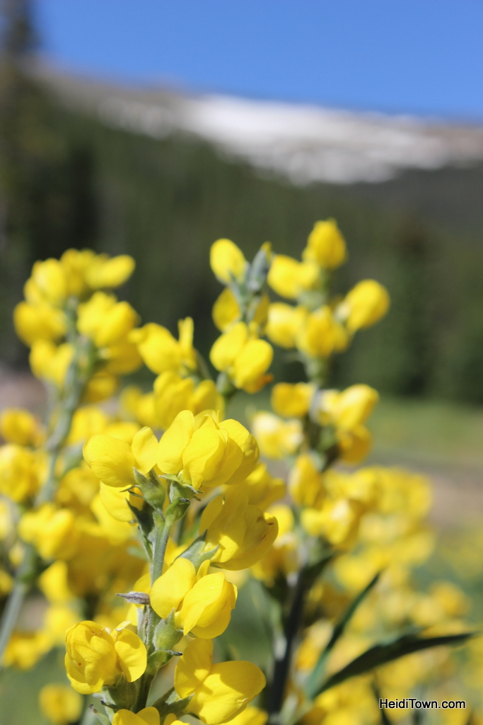 yellow flowers at Rocky Mountain National Park. Wildflowers in July. HeidiTown.com