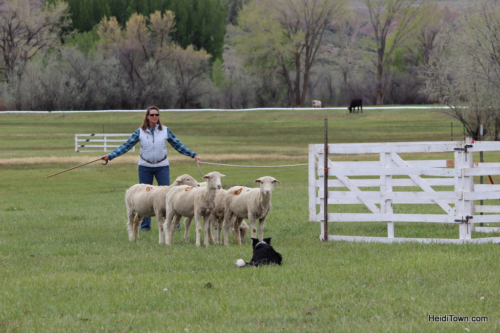 Sheep Dog Camp Stock Trials in Hotchkiss, Colorado. HeidiTown.com