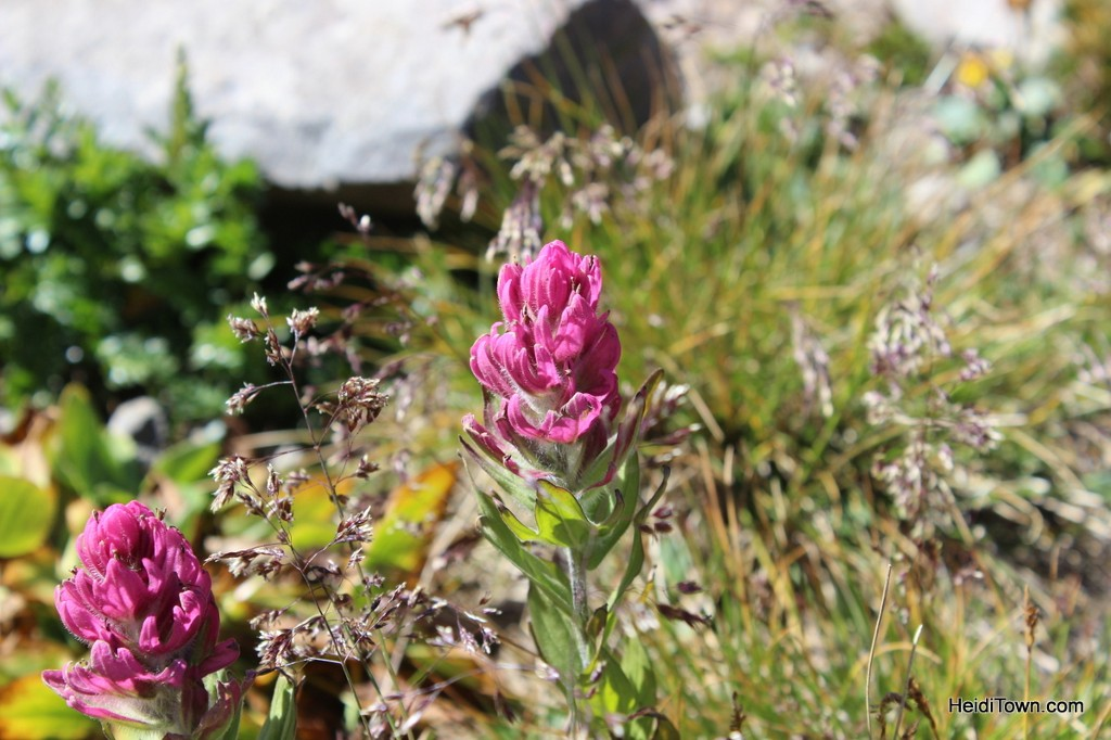 Last of the wildflowers on Imogene Pass in September 2013. Alpine Scenic Tours, Ouray, Colorado. HeidiTown.com