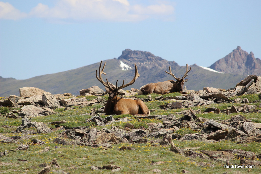 Two resting elk buck in Rocky Mountain National Park near Trail Ridge Road. HeidiTown.com