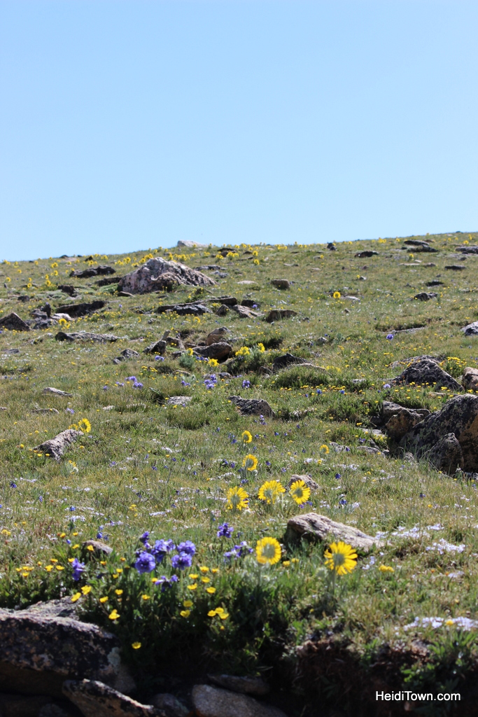 flowers on top of trail ridge road, rocky mountain national park, colorado. HeidiTown.com