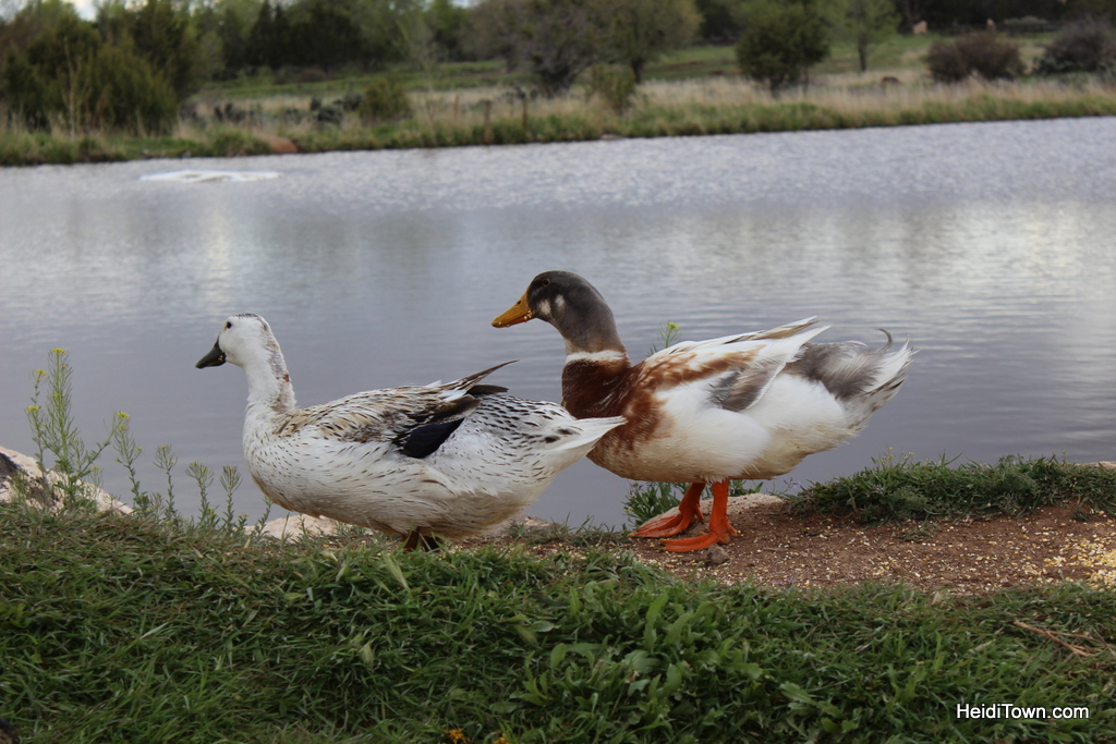 Feeding the ducks at Leroux Creek Inn & Vineyards in Hotchkiss, Colorado. HeidiTown