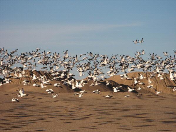 Snow Geese on SWA-reitz