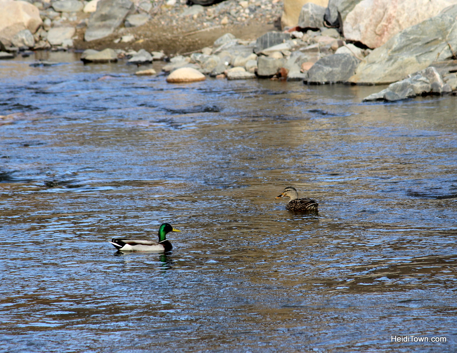 Mallard Ducks on the Big Thompson River at Syvlan Dale Guest Ranch in Loveland Colorado. Nature Walk. HeidiTown.com