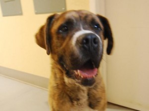Falafel the Mastiff, available at Second Chance Humane Society. HeidiTown.com