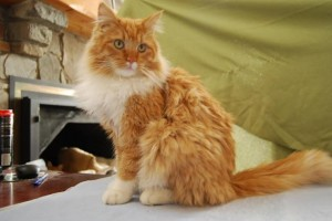 Houdini the cat, available at Second Chance Humane Society. HeidiTown.com