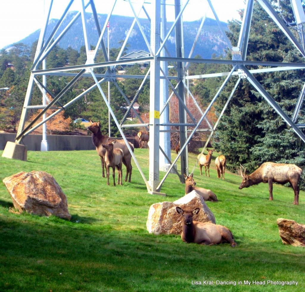 Elk in Estes Park, Colorado.
