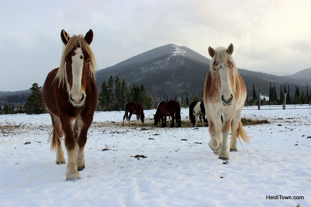 Claire & Belle, a team of draft horses at Sombrero Stables at Snow Mountain Ranch. HeidiTown.com