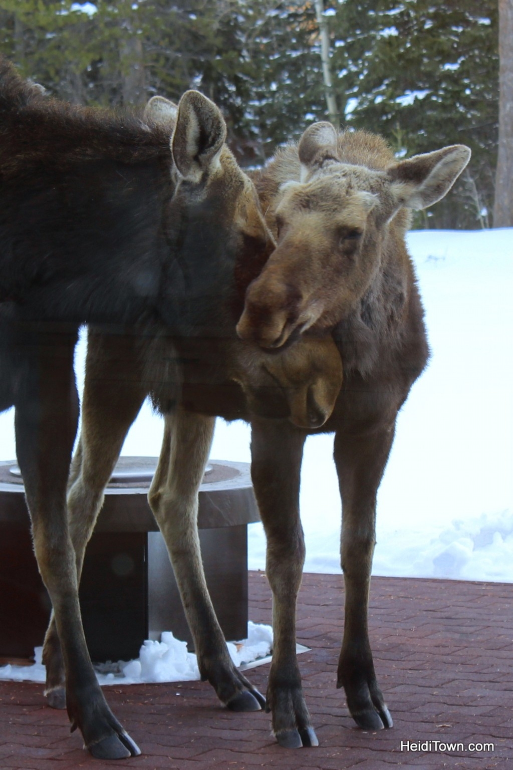 Enjoy Moose Neighbors with a Moving Mountains Vacation Home. Moose in Steamboat Springs 1. HeidiTown.com