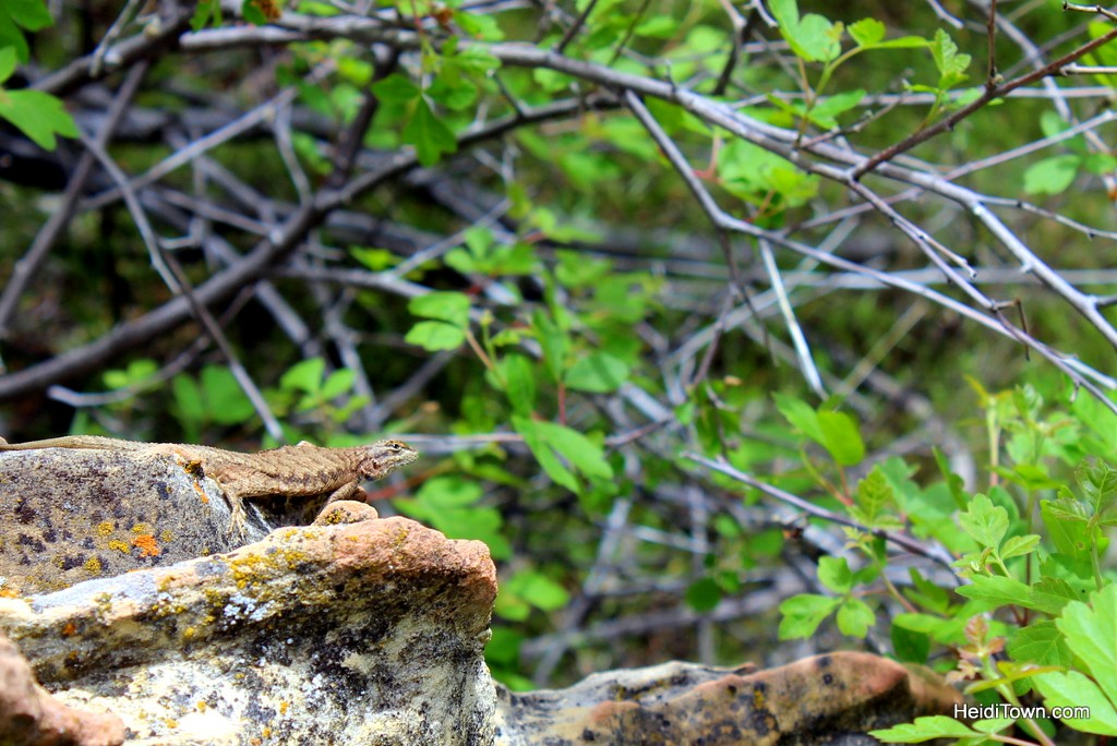 Camping at Echo Park in Dinosaur National Park. Lizard photo. HeidiTown.com