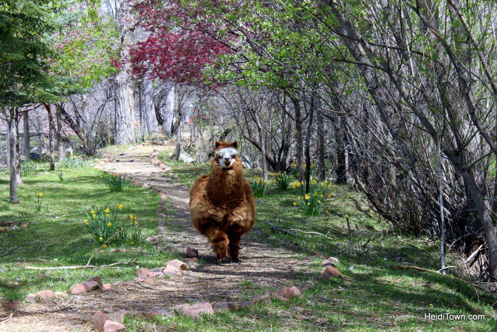 Rosco the Llama at Gaia Farms. HeidiTown.com
