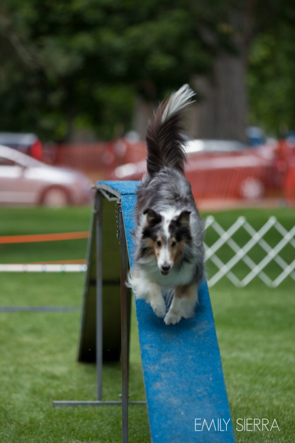 Featured Festival Hops & Harley photo by Emily Sierra - dog agility