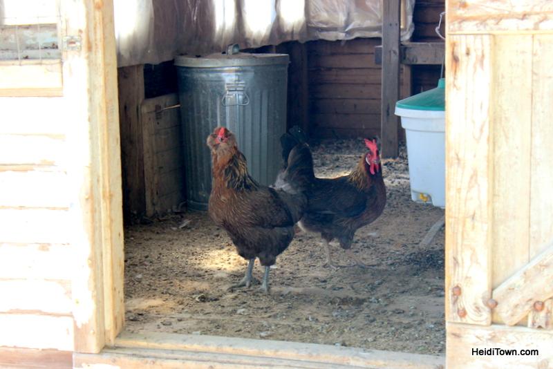 Curious chickens at SkyPilot Farm & Creamery. HeidiTown.com