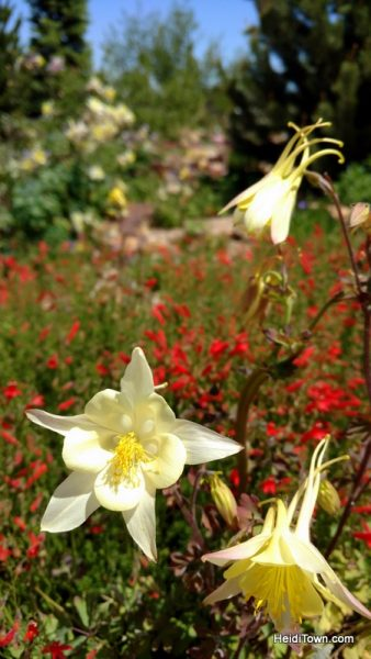Flower Power in Fort Collins, a Visit to The Gardens on Spring Creek. Columbines. HeidiTown.com