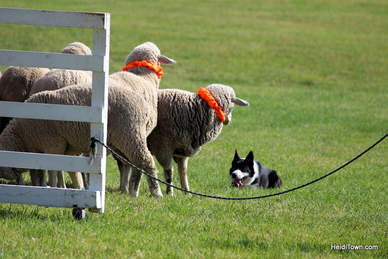 Dogs, Sheep & Meat Pies at the Meeker Sheepdog Trials (1)