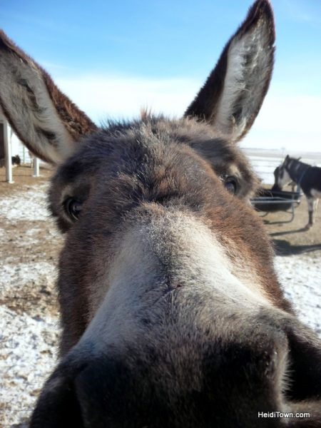 The Best Last Minutes Holiday Gifts in Colorado & Beyond, Longhopes Donkey Rescue donkey kiss