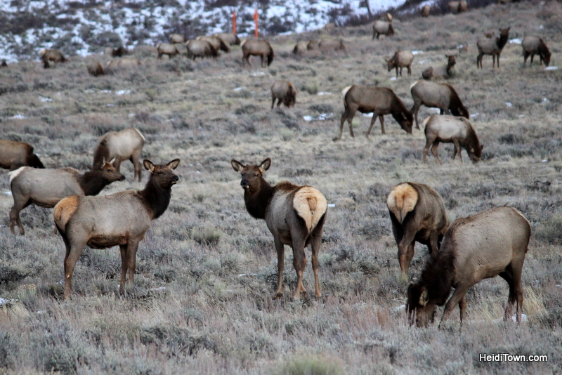 3 Reasons to Book a Trip to Jackson, Wyoming Right Now, National Elk Refuge, HeidiTown.com