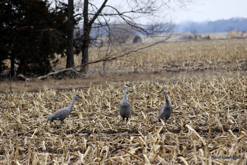 A Night with the Sandhill Cranes at the Crane Trust in Nebraska. HeidiTown (15)