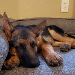 Meet Fritzi, the German Shepherd Colorado Dog & Head of Security