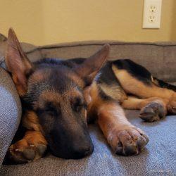 Meet Fritzi, the German Shepherd Colorado Dog & Head of Security